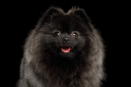 Close-up Portrait of Happy Pomeranian Spitz Dog on Isolated Black Background, front view