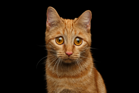 Portrait of Ginger Cat with Huge Sadly Eyes, looking in camera on Isolated Black background, front view