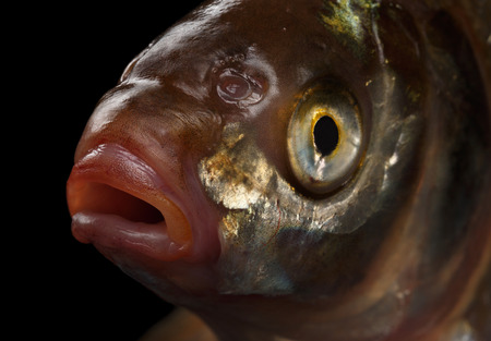 Close-up a Head Bream Fish isolated on black background, studio shot