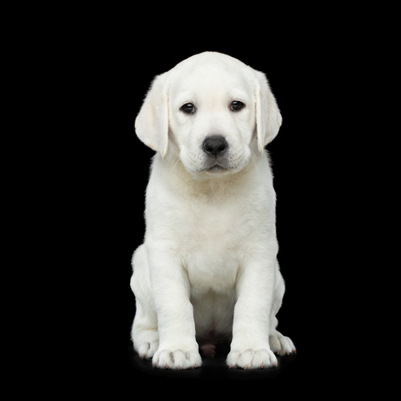 Leuke het Puppyzitting van Labrador op geïsoleerde Zwarte achtergrond Stockfoto
