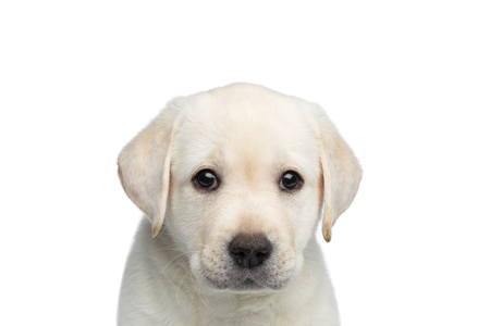 Close-up portrait of Scared Labrador Puppy on isolated white background, front view 版權商用圖片