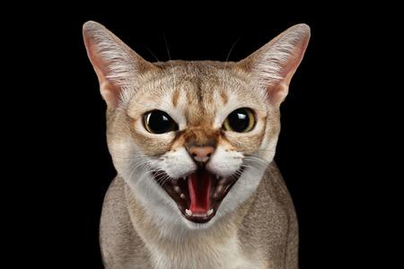 Close-up portret van agressieve Singapura kat gesis op geïsoleerde zwarte achtergrond, overlevingsinstinct