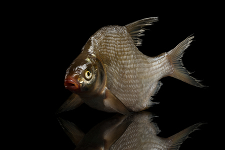 Bream fish isolated on black background with reflection, studio shot