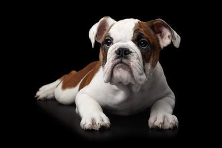 British Bulldog Puppy Lying on isolated black background Stock Photo