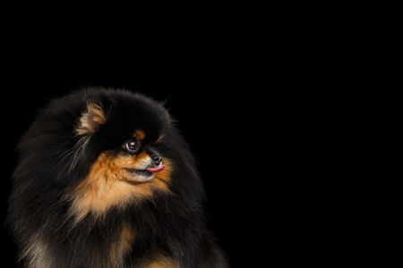 dog grooming: Close-up Portrait of Fluffy miniature Pomeranian Spitz Dog Lick on Isolated Black background, profile view Stock Photo