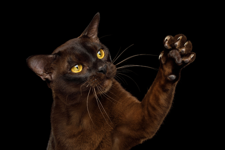 Close-up Sable Burmese Cat Catching his sharp claws on Paw isolated black background Stock Photo