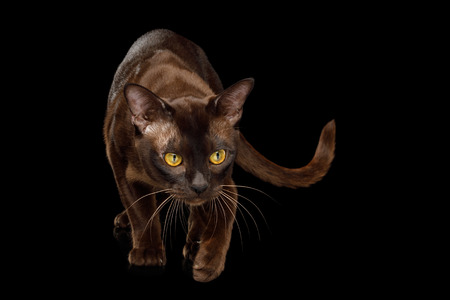 Playful Sable Burmese Cat Crouch and Looking down, hunt on isolated black background Stock Photo
