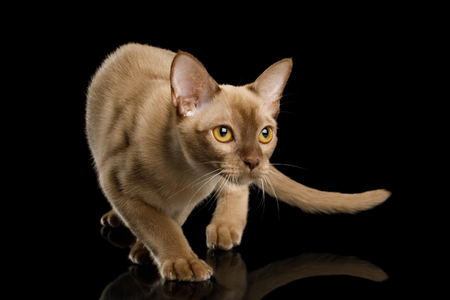 Playful Chocolate Burmese Cat Crouch and Looking up isolated on black background Stock Photo