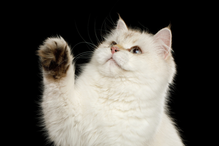 Close-up Funny British Cat White color-point touching paw and looking up on Isolated Black Background, front view