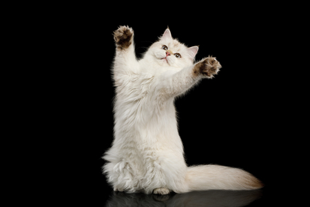 Funny British Cat White color-point Play on Isolated Black Background, front view, Stretched on hind legs