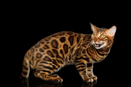 Playful Bengal Cat Standing and Looking back on isolated Black Background with reflection, Side view Stock fotó