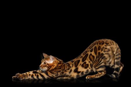 격리 된 검은 배경 반사, 측면보기에 뻗어 쾌활 한 벵골 고양이 스톡 콘텐츠