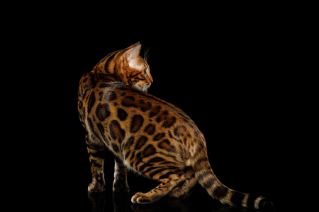 Playful Bengal Cat Standing and Looking back on isolated Black Background with reflection, Side view Stock Photo