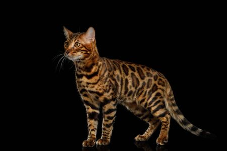 Playful Bengal Cat Standing and Looking up on isolated Black Background with reflection, Side view Stock fotó