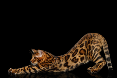 Playful Bengal Cat stretched on isolated Black Background with reflection, Side view Stock Photo
