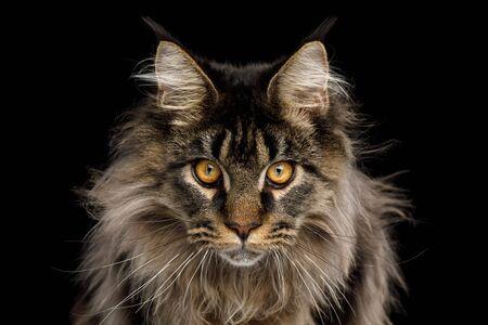 Close-up portret van expressie Maine Coon Cat Stare geïsoleerd op zwarte achtergrond, vooraanzicht