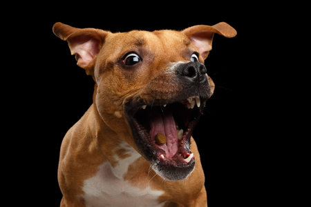 Funny Portrait of Half-breed Red Dog Catches treats with his opened mouth isolated on black background