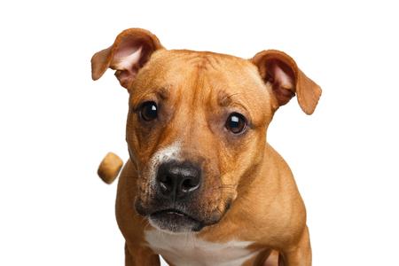 Portrait drôle de métis rouge attrape chien traite avec sa bouche ouverte isolée sur fond blanc Banque d'images - 82686976