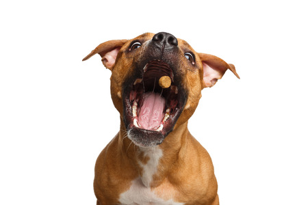 Funny Portrait of Half-breed Red Dog Catches treats with his opened mouth isolated on white background Stock Photo