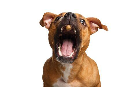 Portrait drôle de métis rouge attrape chien traite avec sa bouche ouverte isolée sur fond blanc Banque d'images - 82686981