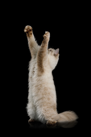 Playful Neva Masquerade Cat Standing on rearing up and stretched paws on Isolated Black Background Stock Photo