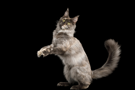 Playful Tortoise Maine Coon Cat Jumping Isolated on Black Background, Front view