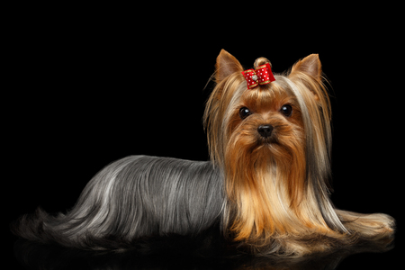 Yorkshire Terrier Dog Lying on Isolated Black Background with Reflection Фото со стока