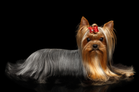 Yorkshire Terrier Dog Lying on Isolated Black Background with Reflection Stock Photo