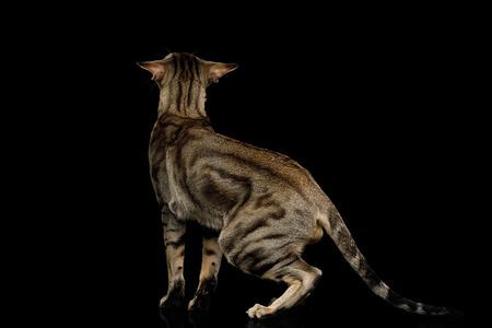 얼룩 모피와 큰 귀와 그린 아이드 동양 고양이 검정 격리 된 배경, 다시보기 도보 스톡 콘텐츠
