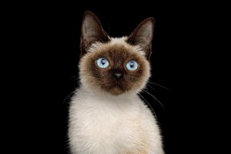 Scyth 장난감 밥, 격리 된 검은 배경, 8 개월, siamese 모피 및 파란 눈에 가장 작은 고양이의 초상화