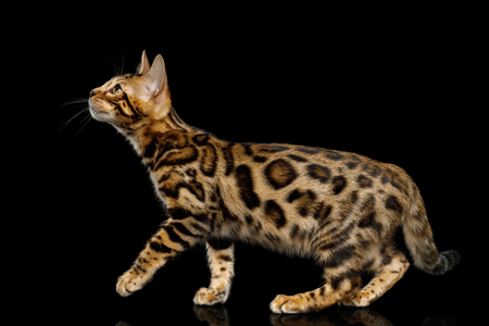 Playful Bengal Kitten, gold Fur with rosette Looking up, Crouching on isolated on Black Background with reflection