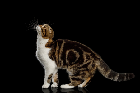 Scottish Fold Cat with tabby Standing and Looking up isolated on Black Background Stock Photo