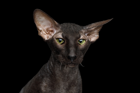 Close-up Portrait of Peterbald Sphynx Cat Curiosity Looks on Isolated Black background Stock Photo
