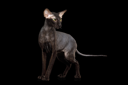 Peterbald Sphynx Cat Posing on Isolated Black background