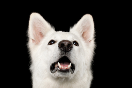 Close-up Face of White Swiss Shepherd Dog Smiling on Isolated Black Background, front view