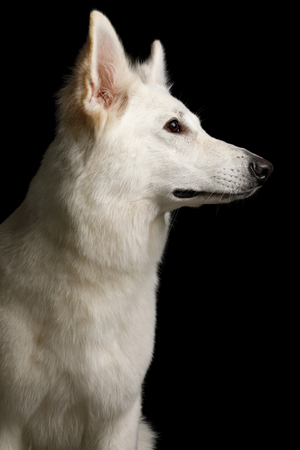 Portrait of White Swiss Shepherd Dog on Isolated Black Background, profile view
