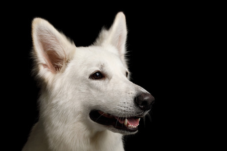 Close-up Face of White Swiss Shepherd Dog Smiling on Isolated Black Background, profile view