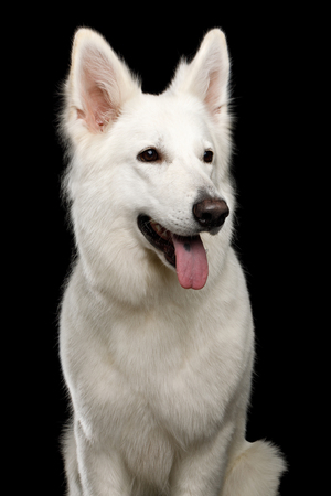 Portrait of White Swiss Shepherd Dog on Isolated Black Background, front view