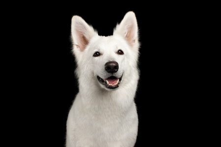 Portrait of White Swiss Shepherd Dog Smiling on Isolated Black Background, front view
