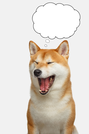Portrait of Shiba inu Dog with closed eyes thinking in cloud on Isolated White Background, Front view Фото со стока