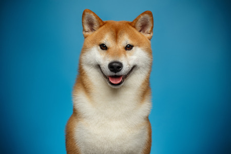 Portrait of Smiling Shiba inu Dog on Blue Background, Front view 写真素材