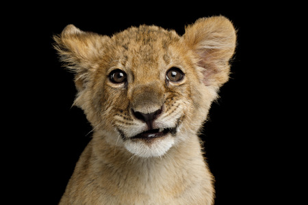 Portrait of Lion Cub with Grin Isolated on Black Background, front view Stock Photo