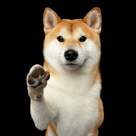 Portrait of Cute Shiba inu Dog, Looks Friendly, Paw Give, Isolated Black Background, Front view
