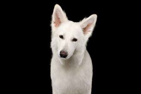 Portrait of White Swiss Shepherd Dog Looks Curious on Isolated Black Background, front view Reklamní fotografie