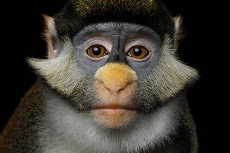 赤尾猿またはシュミッツ ・ ウマグマ オナガザル アスカニウスの肖像猿黒背景に分離されました。 写真素材