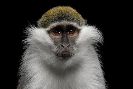黒の背景に分離された緑猿のクローズ アップの肖像画 写真素材