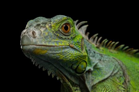 Close-up Hoofd van Reptiel, Jonge Groene Leguaan Geïsoleerd op zwarte achtergrond Stockfoto