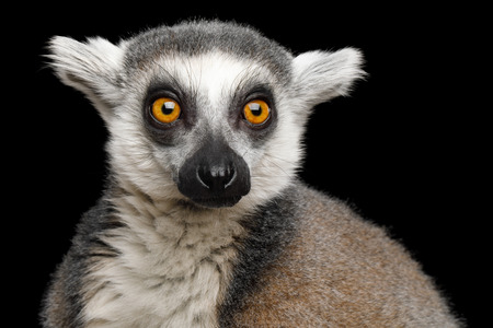 Close-up Portrait of Ring-tailed Lemur Madagascar animal, Isolated on Black Background Фото со стока - 83037738