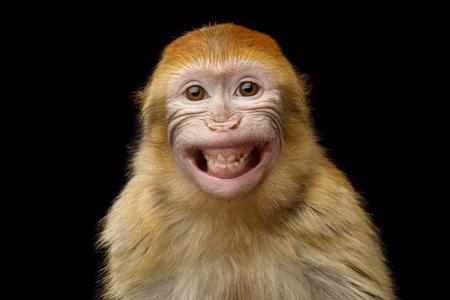 Lustiges Porträt des lächelnden Barbary-Makaken-Affen, die Zähne zeigend lokalisiert auf schwarzem Hintergrund