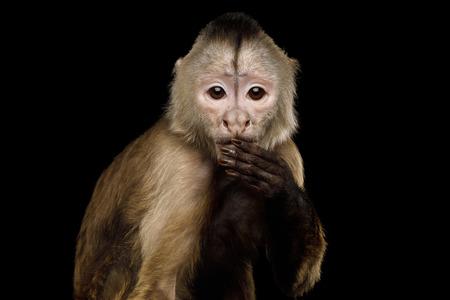 Close up Retrato de Funny Capuchin Monkey colgando de la mano en la boca, aislado en fondo negro, dijo la cosa equivocada Foto de archivo - 83037741